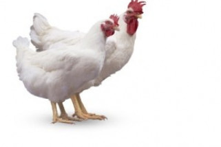 harga ayam potong di tapin melonjak