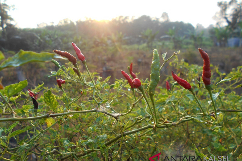 Balangan residents busy cultivating chili