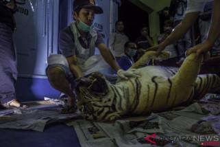 Kebijakan China bisa memicu perburuan harimau Sumatera