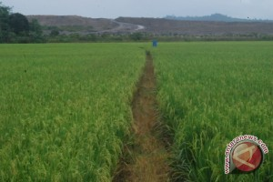 Penajam Targetkan Perluasan Areal Padi 8.000 Hektare