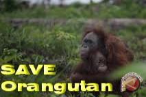 13 Orangutan Terjebak di Kawasan Perkebunan Sawit
