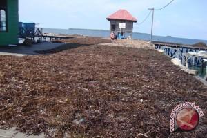 Nelayan Kaltim Lebih Untung Bertani Rumput Laut