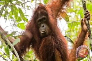 COP Temukan Luka di Tubuh Orangutan Mati