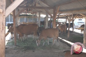 Two Villages in East Kalimantan Want to be Cow Breeding Center