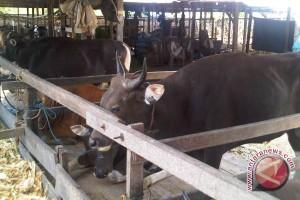 700 Sapi Brahman Cross di Penajam Diasuransikan