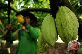 Petani Sebatik Peroleh Bantuan 50.000 Pohon Kakao