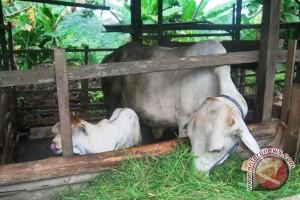 Sapi Indukan Paser Berkembang Jadi 1.607 Ekor