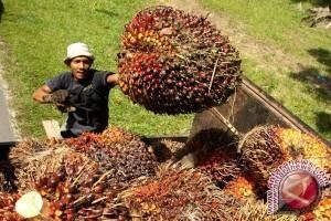 Harga tandan buah segar sawit Penajam melemah