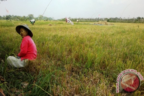Ratusan Hektare Sawah Penajam Terancam Gagal Panen
