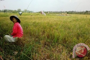 Puluhan Hektare Lahan Pertanian Penajam Terendam Banjir