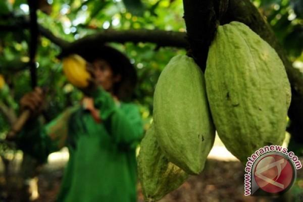 Kaltim Berupaya Tingkatkan Produksi Kakao