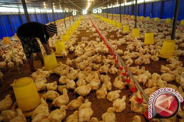 Kebutuhan ayam di Kaltim mencapai 12,7 juta ekor
