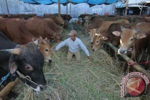 Disnak Kaltim Sebar 500 Sapi Program Pengembangan Ternak
