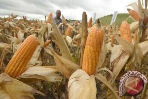 Penajam Perluas Areal Tanam Jagung 4.500 Hektare