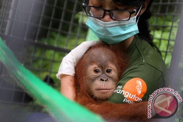BKSDA Kalbar Sita Orangutan dan Kucing Hutan