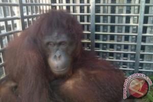 Enam Orangutan Dipulangkan Lewat Balikpapan