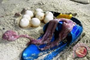 BLB Sesalkan Perburuan Penyu di Pulau Derawan