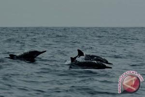Peneliti: Lumba-lumba di Berau Berbeda Pesut Mahakam