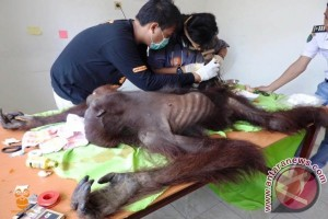TNK Temukan Orangutan Terluka Diduga Korban Konflik