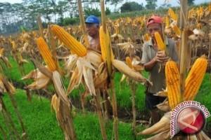 Berau Dapat Bantuan Benih Jagung 3.000 Hektare
