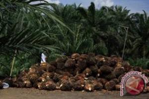 Lahan Sawit Rakyat Penajam Capai 40.000 Hektare