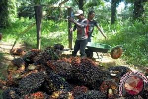 Perkebunan Rakyat Perlu Regulasi