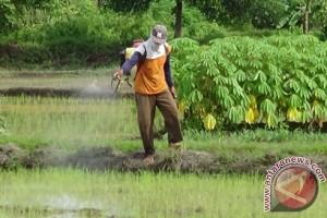 Ratusan Hektare Sawah Penajam Diserang Hama Sundep