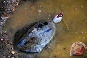 Kura-kura Paling Langka di Kalsel Terancam Punah