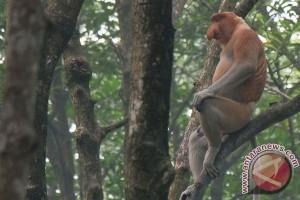 Habitat Bekantan di Kutai Kartanegara semakin Terdesak
