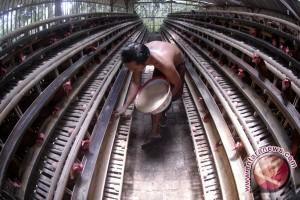 Stok Ayam Ras Kaltim 12,83 Juta Ekor