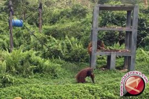 Kerja sama BKSDA dengan Yayasan BOS selamatkan ratusan orangutan