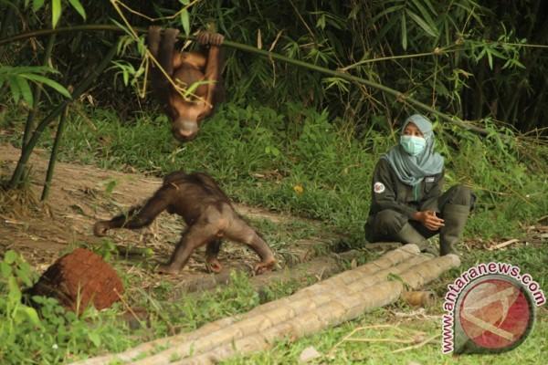 BOSF Bebaskan Orangutan di Pulau Pra-pelepasliaran