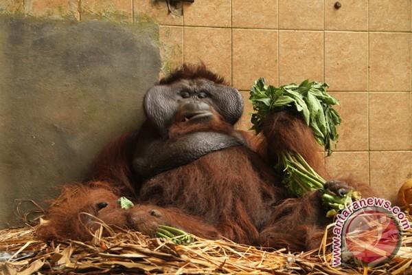 Lagi, Tujuh Orangutan Dilepasliarkan ke Kehje Sewen