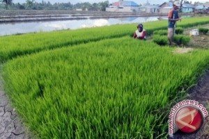 Produksi Padi Babulu Penajam Meningkat 100 Persen