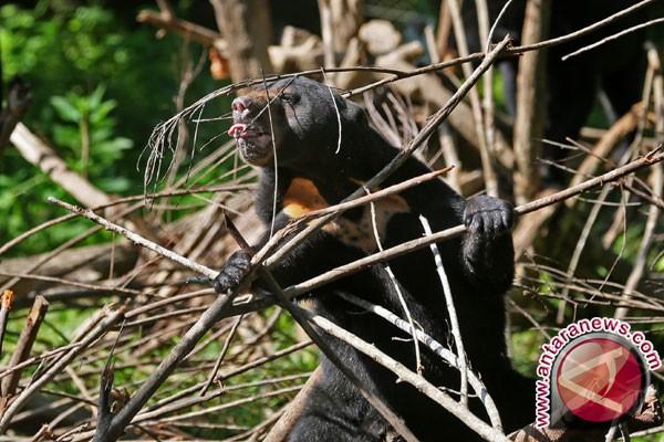 Populasi Beruang Madu Kaltim-Kaltara Sekitar Seribu Ekor