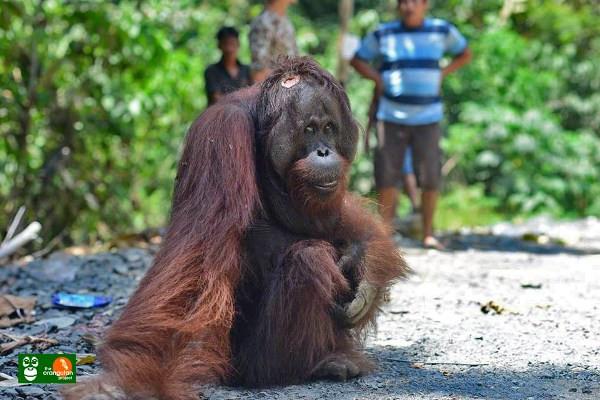 COP apresiasi penangkapan pelaku penembakan Orangutan