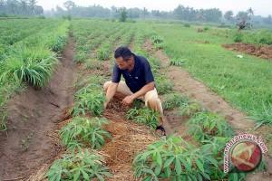 Petani Lampung Timur Tanam Singkong