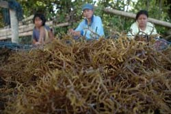 Harga Rumput Laut di Makassar Stabil