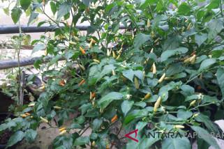 Harga Cabai Rawit di Kota Sorong Naik