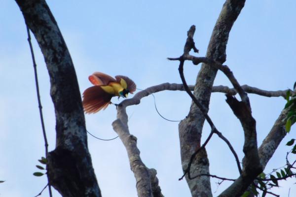 Raja Ampat Terdapat Delapan Jenis Burung Cenderawasih