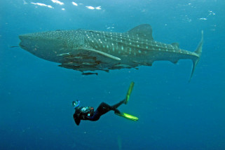 Whale Shark Center Teluk Cenderawasih kalahkan WSORC Honduras Amerika