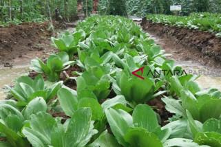 Papua Barat Tingkatkan Produksi Sayur Petani Lokal