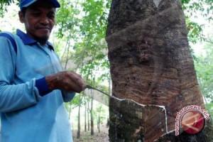 Produksi kebun karet petani Lampung meningkat