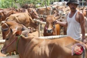 Catatan akhir tahun - Penggemukan sapi upaya atasi kebutuhan daging