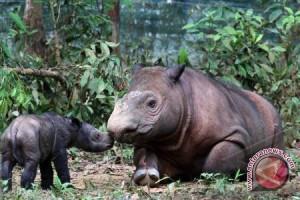 Badak Sumatera langka terlihat di hutan Indonesia