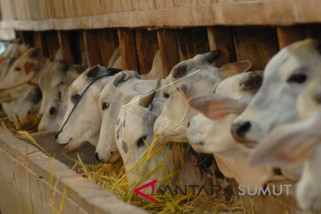 Populasi sapi Langkat naik 3,38 persen