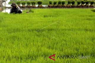 Realisasi panen padi petani Langkat 108,94 persen
