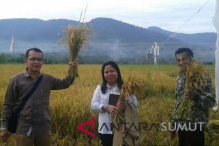 Panen padi ladang di Kabupaten Karo