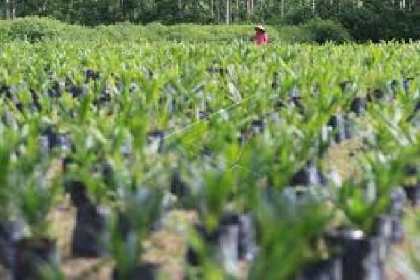 Penjualan benih sawit PPKD tertinggi di Indonesia