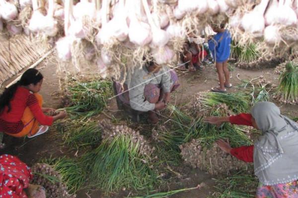 Bibit bawang putih diduga beredar di Sumut